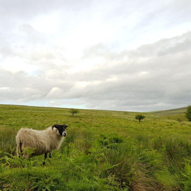 Schaf auf grünen Wiesen