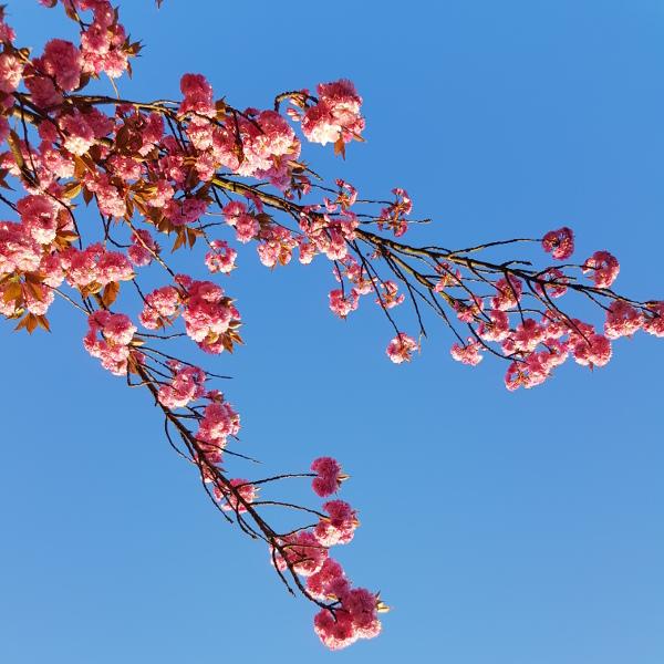 pinkfarbene Blüten vor blauem Himmel