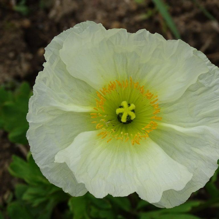 hellgelbe Blüte