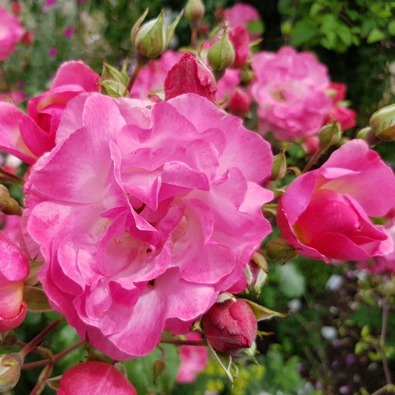 leuchtend pinkfarbene Rosen