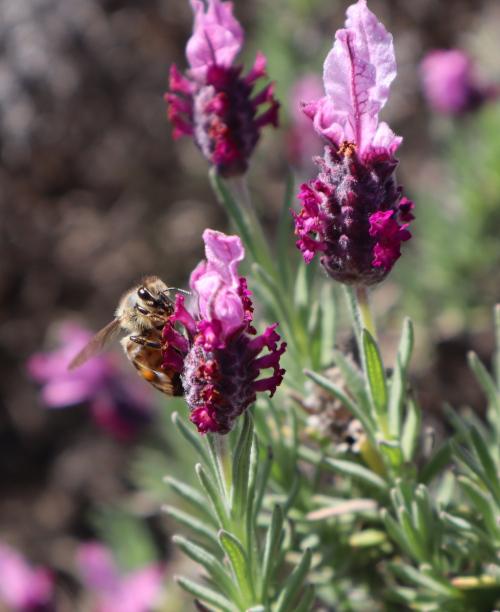 Nahaufnahme einer Biene auf Lavendel