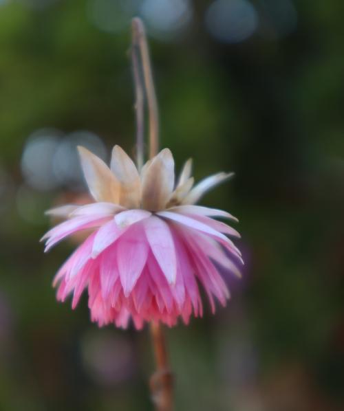 Detailaufnahme einer rosafarbenen Blüte