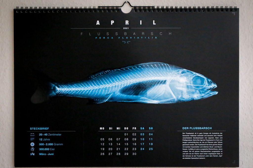Kalenderansicht mit der Röntgenansicht eines Flussbarschs